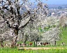 Cerisiers en fleurs à Fougerolles