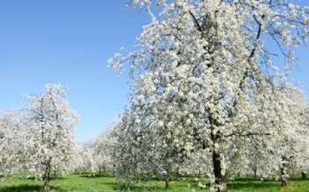 Vivre le temps des cerises à Fougerolles